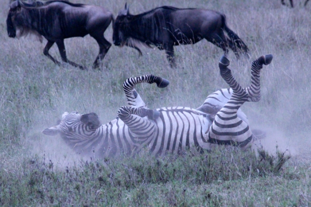 Zebra rolling in dirt