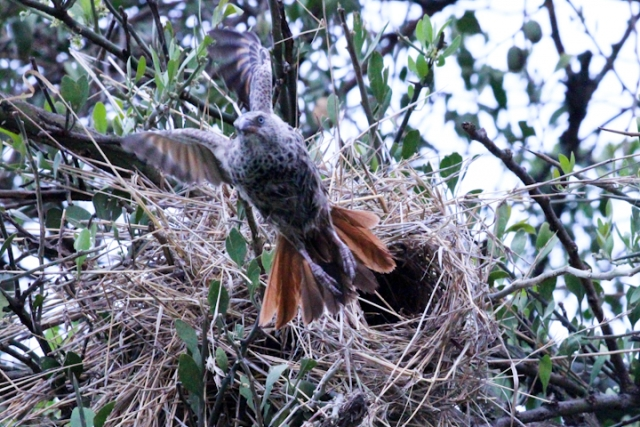 Rufous-tailed weaver building nest