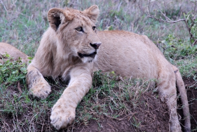 Young male lions at stream